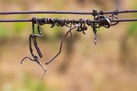 metal wire with old twigs chateau curson dom pochon crozes hermitage rhone france