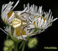 0903-06qq Crab spider - Thomisidae Genus - © David Kuhn/Dwight Kuhn Photography