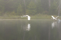 """""""Trumpeters in the Fog""""<br /> <br /> It was a treat to see and hear these trumpeter swans take flight in the fog.<br /> ~ Day 138 of Inspired by Wilderness: A Four Season Solo Canoe Journey"""