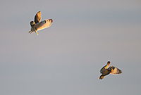 Short-eared owls are extremely territorial.  They will fly up to attack each other frequently.