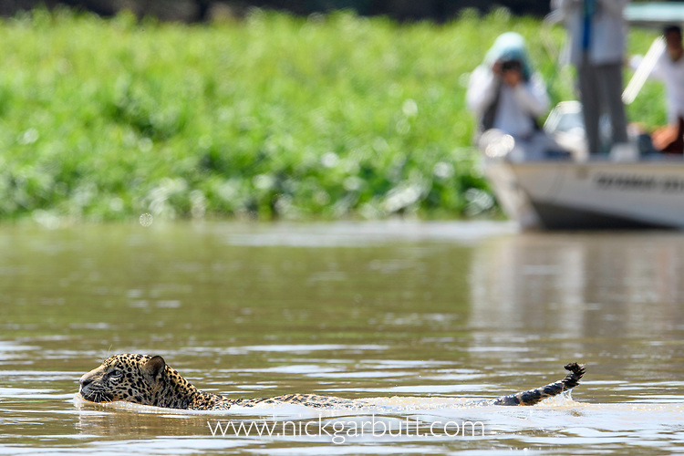 Female jaguar (Panthera onca) swimming across a river, being watched by tourists in a boat on the far bank. Northern Pantanal Cuiaba River, Mato Grosso, Brazil.
