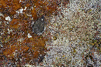 Adult Black Turnstone( Arenaria melanocephala) incubating nest among lichens and moss. Yukon Delta National Wildlife Refuge, Alaska. June.