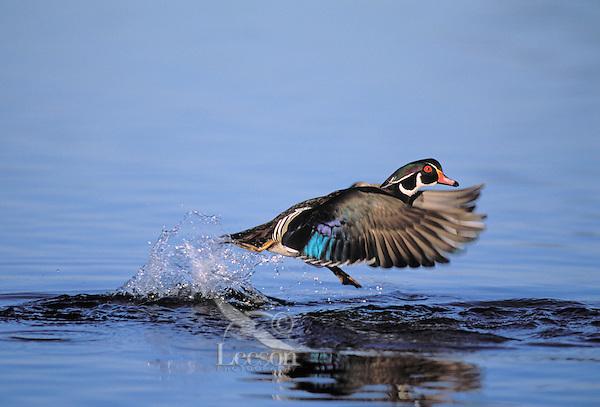 Wood Duck drake. Coastal British Columbia, Canada. (Aix sponsa).