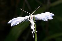 Federgeistchen, Federmotte, Schlehen-Federgeistchen, Pterophorus pentadactyla, Aciptilia pentadactyla, Pterophorus pentadactylus, White Plume Moth, Federmotten, Pterophoridae, plume moths