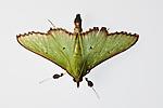 Insects of Kolombangara rainforest.