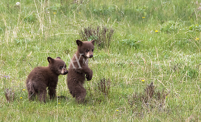 My favorite subject to photograph during the spring of 2015 was this black bear family.  The black sow and two little cinnamon cubs put on quite a show.
