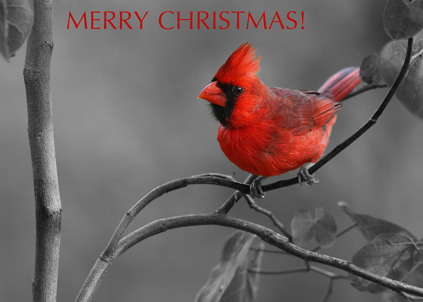 Northern Cardinal with black & white background conversion.