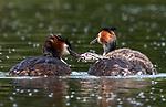 Greedy grebe chick swallows large fish by Simon Roberts