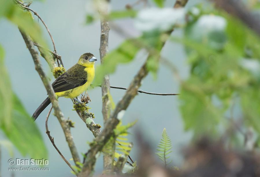 Female lemon-rumped tanager, Ramphocelus icteronotus, Tandayapa Valley, Ecuador