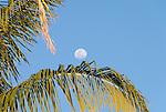 The moon and palm tree on the island of Kiritimati, Kiribati