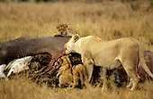 Maasai Mara Game Reserve, Kenya. Lioness (Panthera leo) with three cubs with a dead hippopotamus carcass.