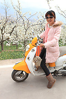 Dans les vergers, une route permet l'accès des touristes. Une jeune femme très branchée sur son scooter préfigure la Chine de demain. Un jour, la pollinisation à la main sera trop chère.///In the orchards, a road allows for tourist access. A young, very trendy woman on her scooter prefigures the China of tomorrow. One day, hand pollination will be too costly.