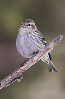 Pine siskin perched on a branch