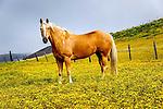Palomino Quarter Horse, San Luis Obispo on the Central Coast of California