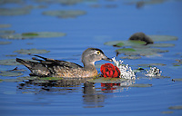 Wood Duck hen with graduation night corsage. Burnaby Lake, British Columbia, Canada. (Aix sponsa).