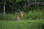 Majestic white-tailed buck in summer
