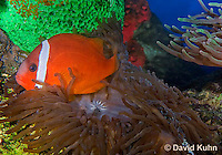 0322-1104  Tomato Clownfish, Amphiprion frenatus, with Bubble-tip Anemone, Entacmaea quadricolor  © David Kuhn/Dwight Kuhn Photography