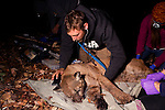 Mountain Lion (Puma concolor) biologist, Chris Fust, checking vital signs of sub-adult male during collaring, Santa Cruz Puma Project, Santa Cruz, Monterey Bay, California