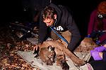 Mountain Lion (Puma concolor) biologist, Chris Fust, checking vital signs of sub-adult male during collaring, Santa Cruz Puma Project, Santa Cruz, Monterey Bay, California