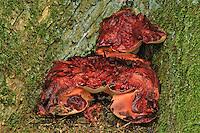 Ochsenzunge, Eichen-Leberreischling, Leberreischling, Leberpilz, Fistulina hepatica, beefsteak fungus, beefsteak polypore, ox tongue, Fistuline hépatique,  foie de bœuf, langue de bœuf