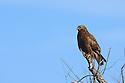 00585-001.05 Rough-legged Hawk Buteo lagopus dark morph is perched on snag during winter.  Predator, bird of prey, raptor, hunt.  H3L1
