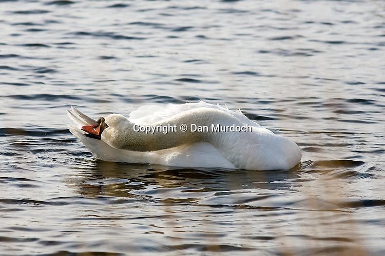 White swan in water grooming