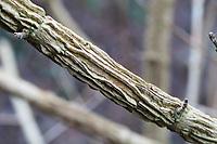 Feld-Ahorn, Feldahorn, Ahorn, Korkleiste, Korkleisten an Zweig, Acer campestre, Field Maple, Hedge Maple, Erable champêtre