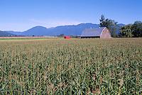 Fraser Valley, Southwestern BC, British Columbia, Canada - Farm and Corn Field