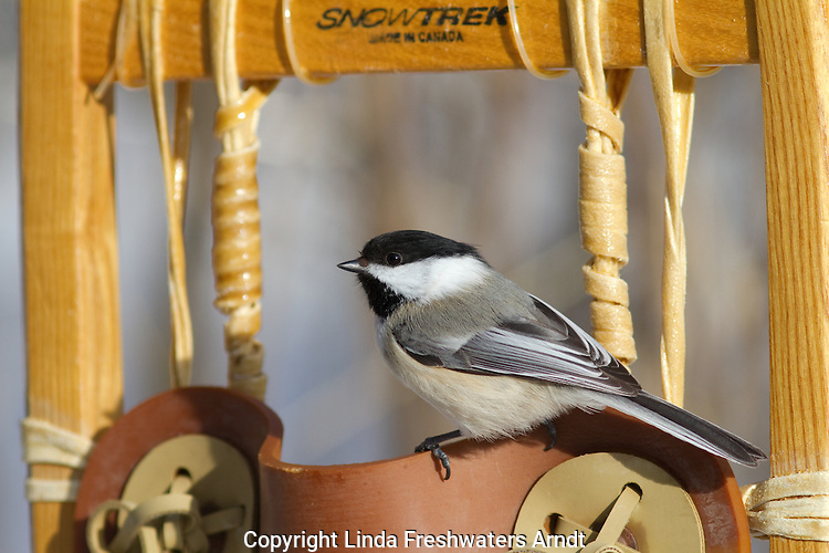 Black-capped chickadee perched on a snowshoe