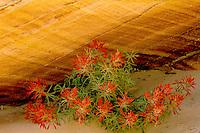 Slickrock paintbrush<br /> Coyote Buttes<br /> Paria Canyon-Vermilion Cliffs Wilderness<br /> Colorado Plateau,  Arizona