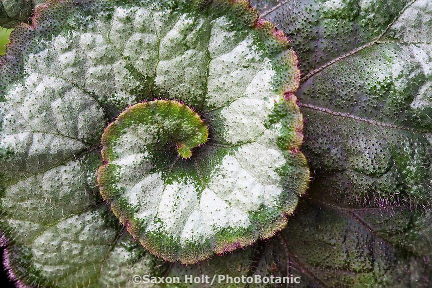 Begonia 'Escargo'  silver variegated swirled leaf foliage