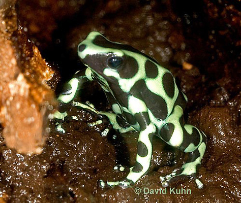 0930-07rr  Dendrobates auratus ñ Green and Black Arrow Frog ñ Green and Black Dart Frog  © David Kuhn/Dwight Kuhn Photography