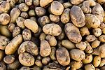Potato (Solanum tuberosum) crop, Abra Granada, Andes, northwestern Argentina