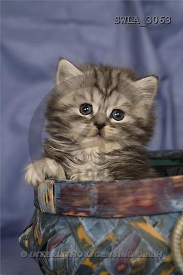 Carl, ANIMALS, photos, kitten, pot(SWLA3063,#A#) Katzen, gatos