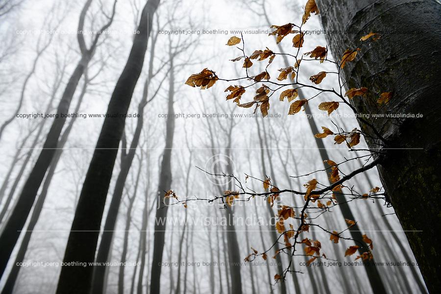 GERMANY, Ruegen, beech forest in fog, autumn / Rügen, Nationalpark Jasmund, intakter Wald, Herbst, Laubwald mit Buchen im Nebel