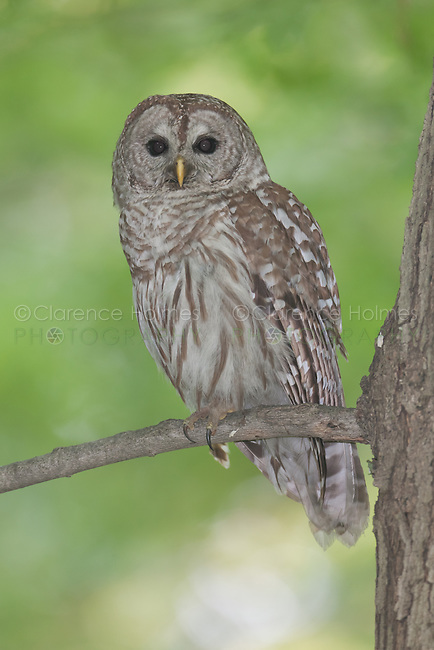 A Barred Owl (Strix varia) roosts on the branch of a Maple tree, West Harrison, Westchester County, New York