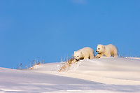 polar bear, Ursus maritimus, pair of newborn spring cubs playing outside their den, mouth of Canning River along the Arctic coast, eastern Arctic National Wildlife Refuge, Alaska, polar bear, Ursus maritimus