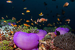 Purple Barrel Anemone, Radianthus magnifica, colorful tropical reefs, healthy reefs, Manta Rays, reefscapes, Wide Angle, Clownfish and purple anemones