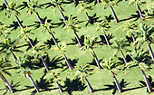 Santarem, Brazil. Aerial view of palm trees planted in a geometric pattern with grass underneath.