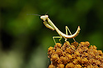Mantis on Yarrow, Carolina Mantis female, Stagmomantis carolina, Praying Mantis, Huntsville, Alabama