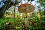 Single fly agaric mushrooms / fungi (Amanita muscaria) growing in coniferous woodland near Inverness, Scottish Highlands. Scotland.