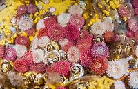 painted anemone, Urticina grebelnyi, giant acorn barnacles, Balanus nubilus, and sulfur sponge, Myxilla lacunosa, Skookumchuck Narrows, Sechelt Inlet, British Columbia, Canada, Pacific Ocean