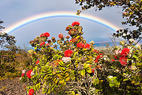 'Ohi'a lehua, endemic to Hawai'i, is framed by a distant rainbow, Hawai'i Volcanoes National Park, Big Island.