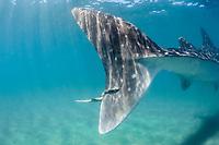whale shark, Rhincodon typus, caudal fin with remora, El Mogote, La Paz, Baja California Sur, Mexico, Pacific Ocean