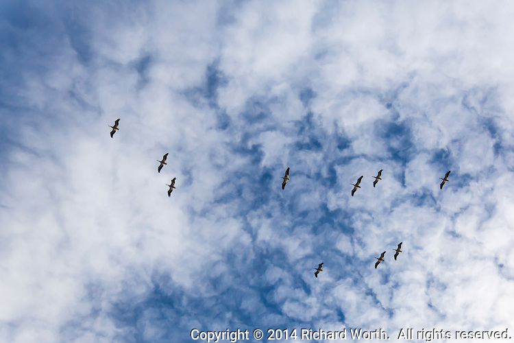 Ten white pelicans soar against a cloudy blue sky over a wildlife refuge, a wetland, devastated by drought.