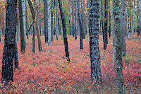 Autumn Pine Trees and Bayberry, Pine Barrens, New Jersey