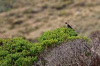 New Zealand Falcon(Falco novaeseelandiae) on Adams Island in the Aukland Islands, New Zealand.