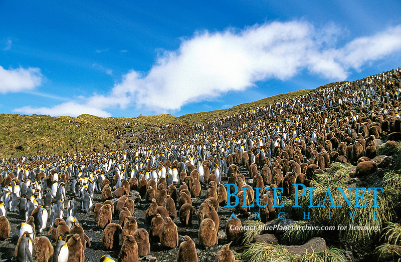 king penguins, Aptenodytes patagonicus, adults and chicks, at breeding colony, Salisbury Plain, South Georgia