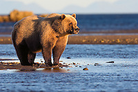 Female Coastal Brown Bear in the evening golden light on the Alaska Peninsula.