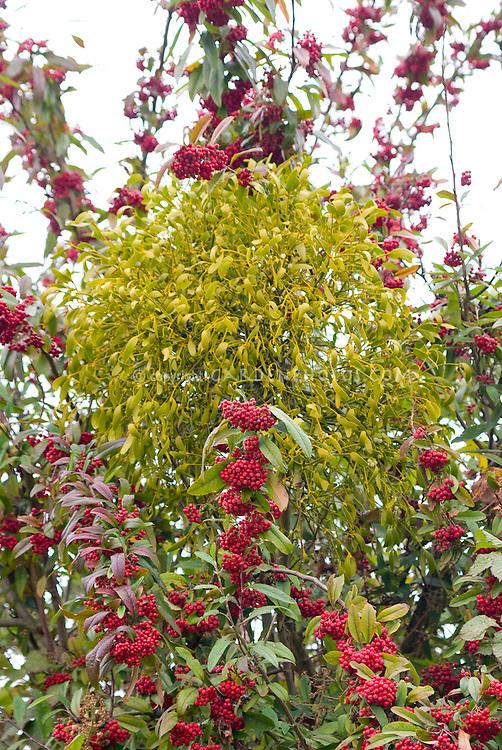 Viscum album mistletoe in tree with Cotoneaster frigidus 'Cornubia'